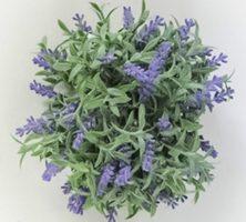 Buksmedis dekoratyvinė gėlė LEVANDA